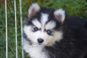 Pomsky Puppies For Sale In Midland Tx