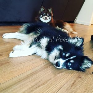 Home to the World's Finest Pomskies! - Portland Pomskies