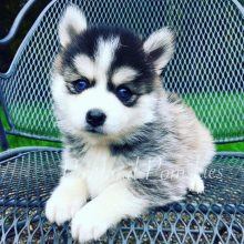 How-To-Guide: Adopting a Puppy from Portland Pomskies!