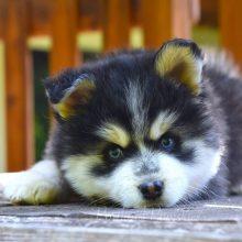 Preparing For Your Portland Pomsky Puppy!