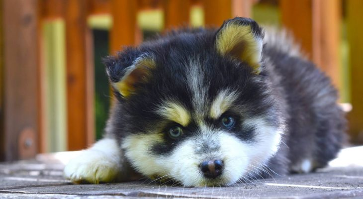 Preparing For Your Portland Pomsky Puppy!